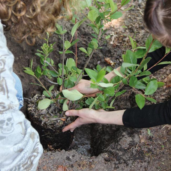 Bild: getopfte Aroniapflanzen